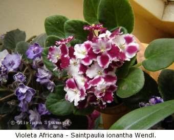 Variedades vintage violetas africanas