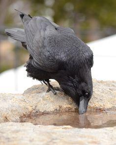 Fucking crow