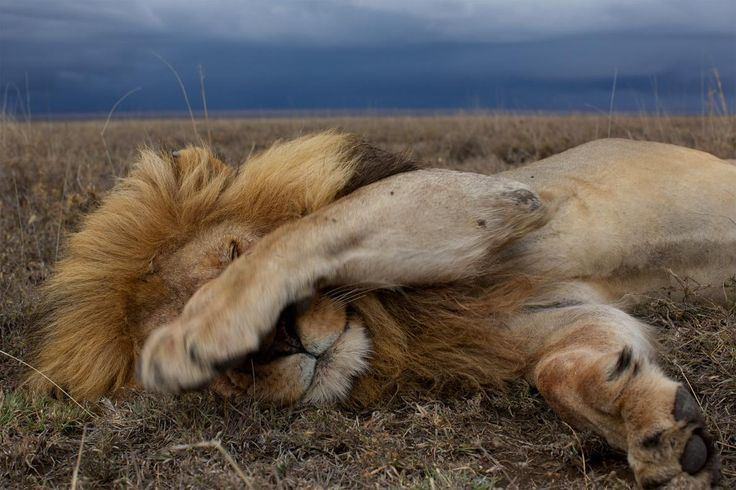 Picture of a lion sleeping in Tanzania