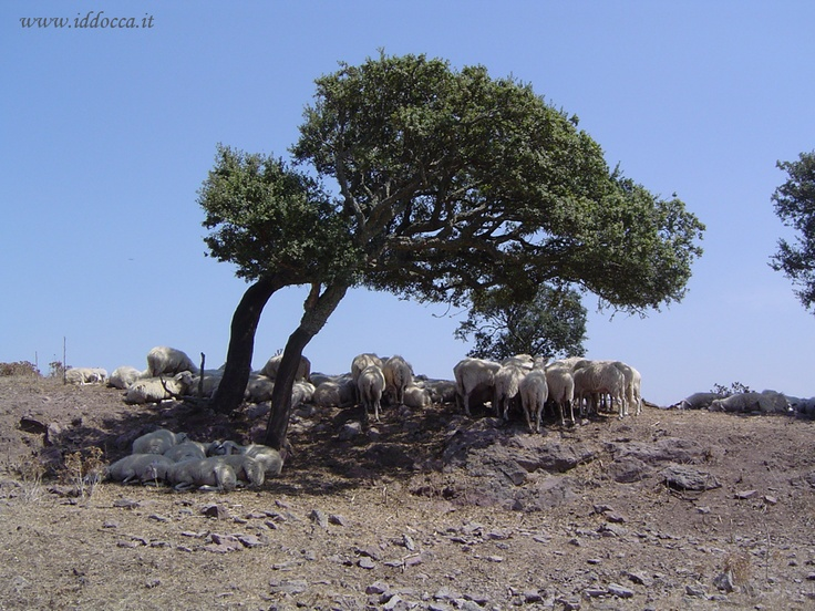 Sheeps in the rest under a tree :)