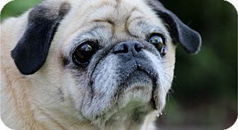 Pictures of Mr. Digby a Pug for adoption in Pismo Beach, CA who needs a loving home.