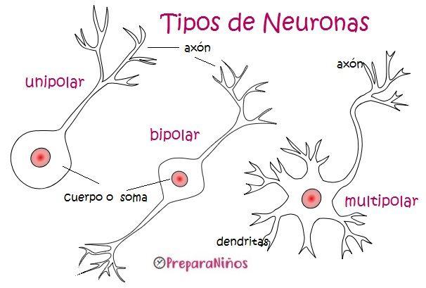 La Neurona Tipos Sistema Nervioso Humano Neuronas Anatomia Del Cerebro Humano