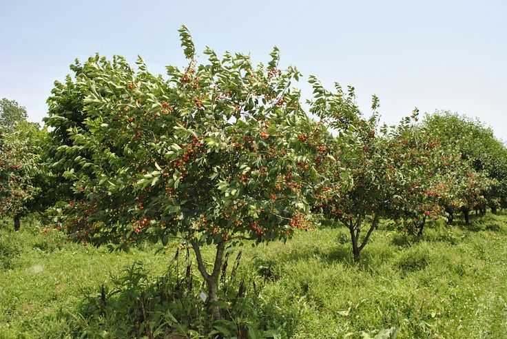 Spray and Weeding Guide for Fruit Trees, including organic solutions