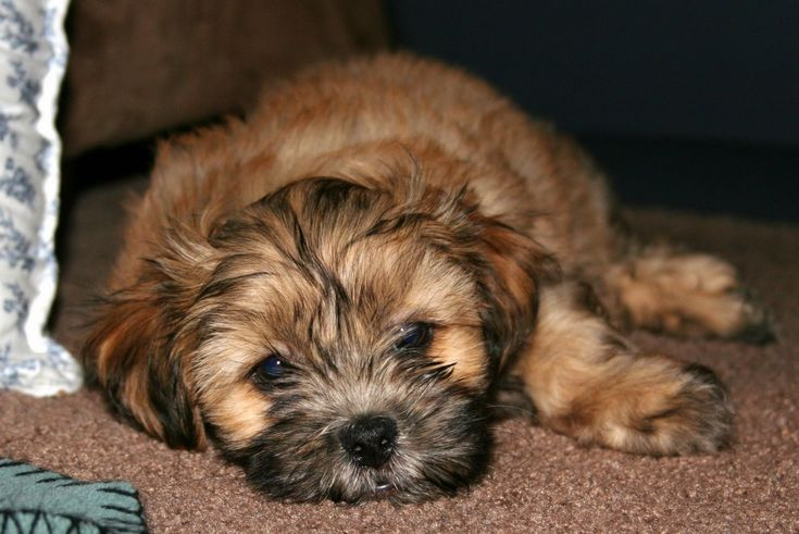 Brown Shih Tzu Maltese Mix Puppies
