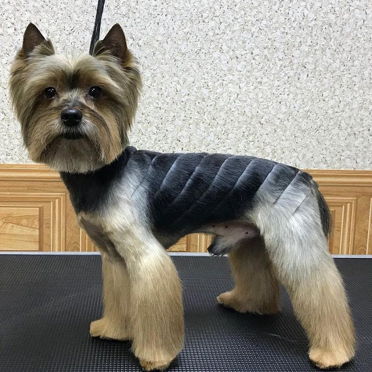 24 Best Yorkie Hairstyles For Males Yorkshire Terrier Haircuts The Paws Yorkie Dogs Yorkie Haircuts Yorkie