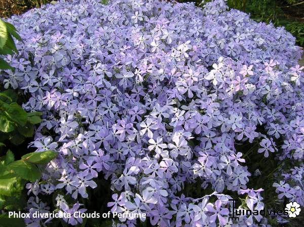 61 besten balkonpflanzen nordseite bilder auf pinterest for Halbschattige balkonpflanzen
