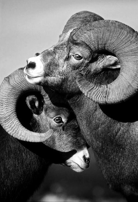 """Nice photo of two rams. The lower ram is most likely the younger and less dominant ram. He is """"horning"""" on the other ram to show submission."""