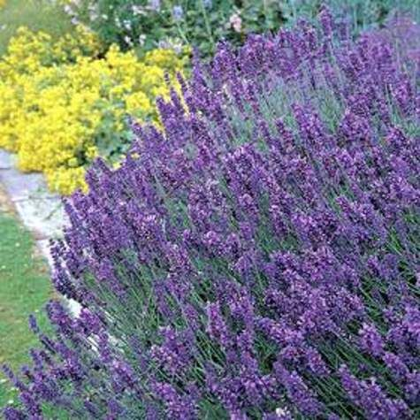 lavandula angustifolia 39 hidcote 39 plants for sunny south. Black Bedroom Furniture Sets. Home Design Ideas