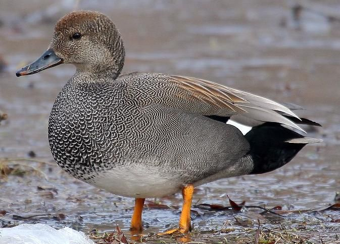 24 best The Gadwall images on Pinterest | Duck hunting ...