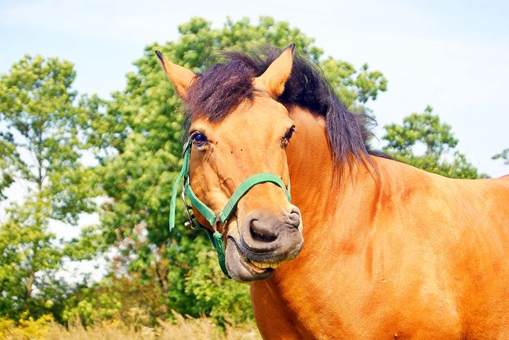 #polishhorse #horse #horseface #ginger #gingerhorse #autumn #funnyhorse