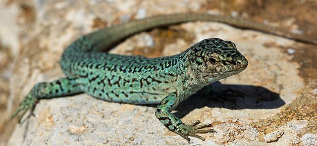 THE WALL LIZARDS OF IBIZA AND FORMENTERA. A testimony to evolution - FORMENTERA (Balearic Islands, Spain)