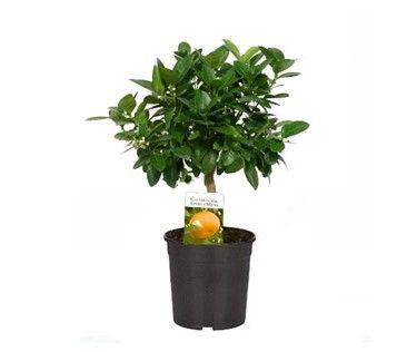 Calamondino - Citrus madurensis - Vaso da 20 - Semilandia