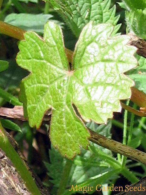 Kletterpflanze: Wilde Weinrebe | wilde Weintraube - Vitis vinifera ssp. sylvestris - Samen sind online bei Magic Garden Seeds verfügbar.