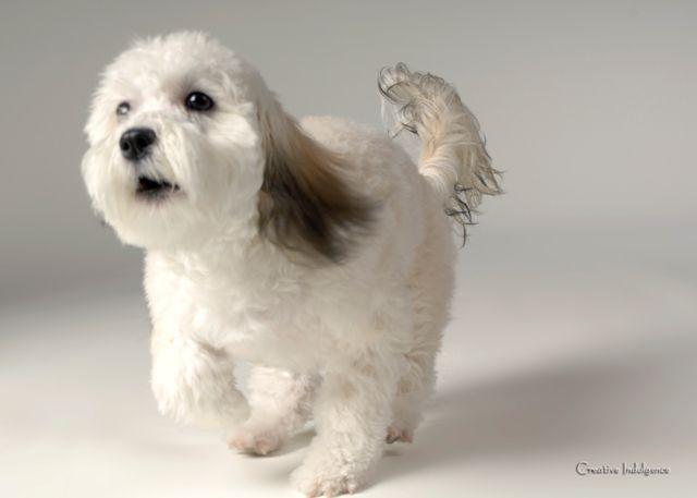 O Dog Hairstyle: Grandview Havanese Biewer Dogs