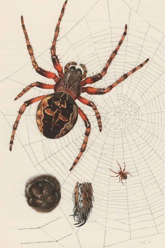 1956 marbré Orb-lissier Spider, Print Antique, insectes, entomologie, Araneus ocellatus, Araneus patagiatus, lithographie de Vintage, araignées imprimer