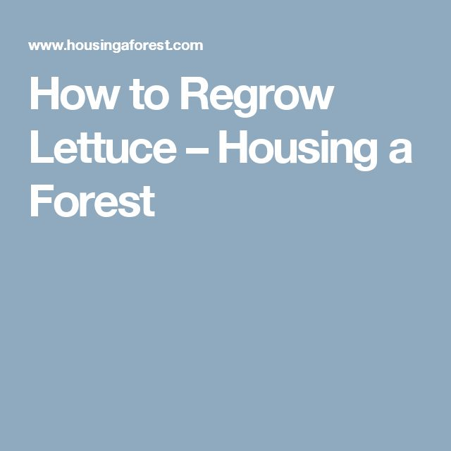 How to Regrow Lettuce – Housing a Forest