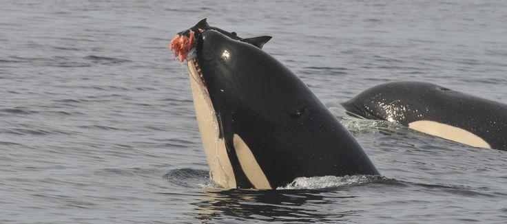 David Suzuki: Orca survival depends on protecting chinook salmon