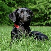 #dogalize Razze cani: il cane Labrador nero carattere e prezzo #dogs #cats #pets