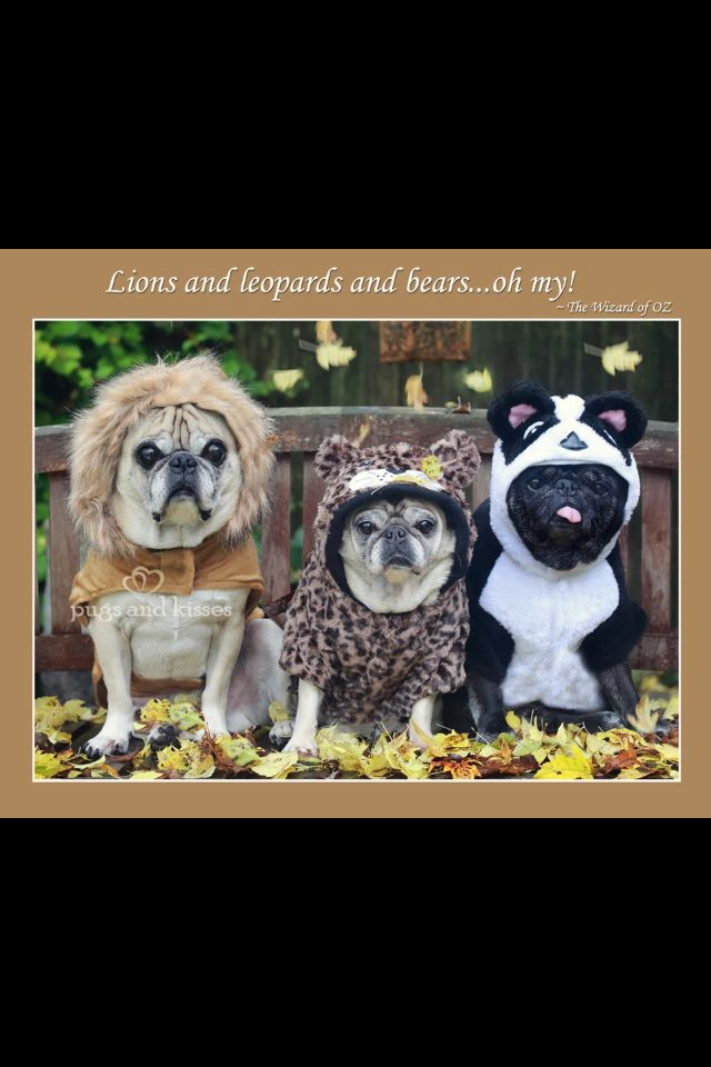 100 best senior pugs images on pinterest pug dogs pugs and doggies oliver clara riley lions tigers bears costumes halloween by pugs and kisses thecheapjerseys Image collections