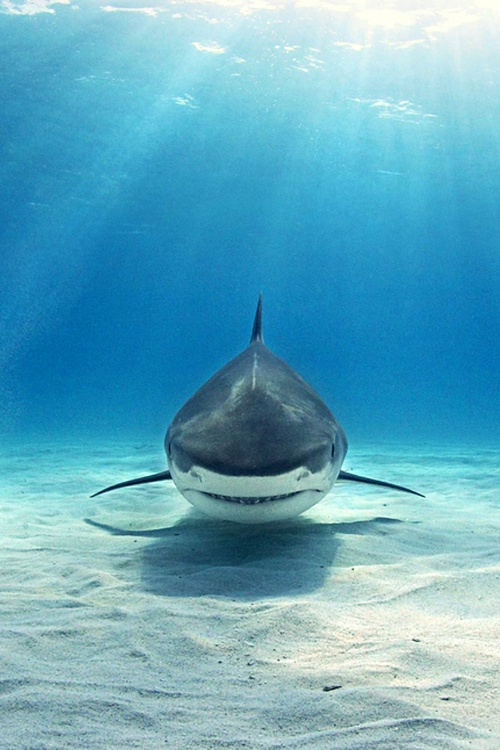 Tiger Shark, The Bahamas