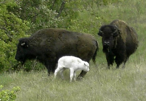 In this photo provided by the National Buffalo Museum, a second white bison calf has been born in a herd on the edge of Jamestown, N.D.