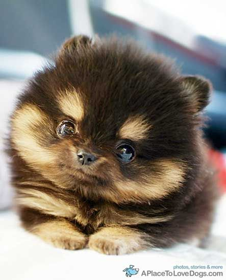 Holy freakin crap, i want a toy cup pomeranian