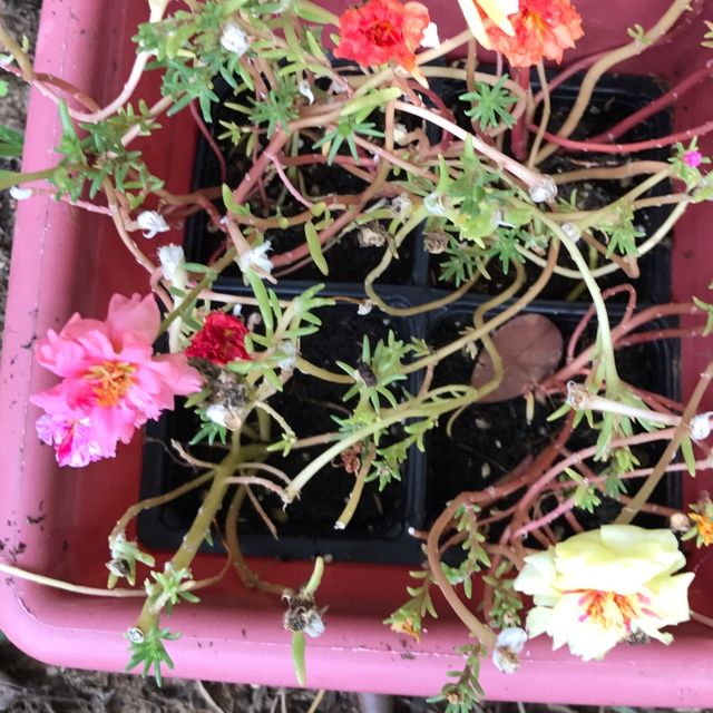 Moss Rose (portulaca grandiflora): Portulaca grandiflora, (Urdu: گل دوپہری‎) is a flowering plant in the family Portulacaceae, native to Argentina, southern Brazil, and Uruguay and often cultivated in gardens. It has many common names, including rose moss, eleven o'clock, Mexican rose, moss rose, sun rose, rock rose, and moss-rose purslane.  It is also seen in South Asia and widely spread in most of the cities with old 18th- and 19th-century architecture in the Balkans. In Pakistan it is…