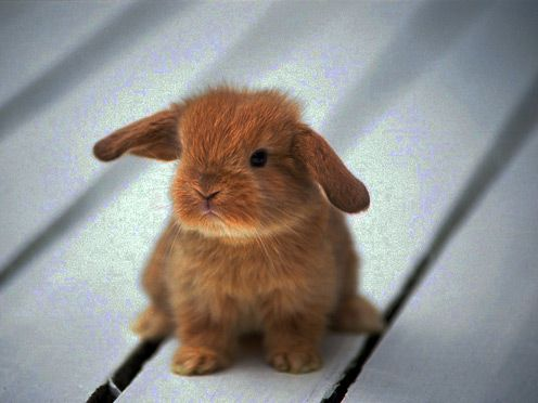 Baby lop-eared bunny
