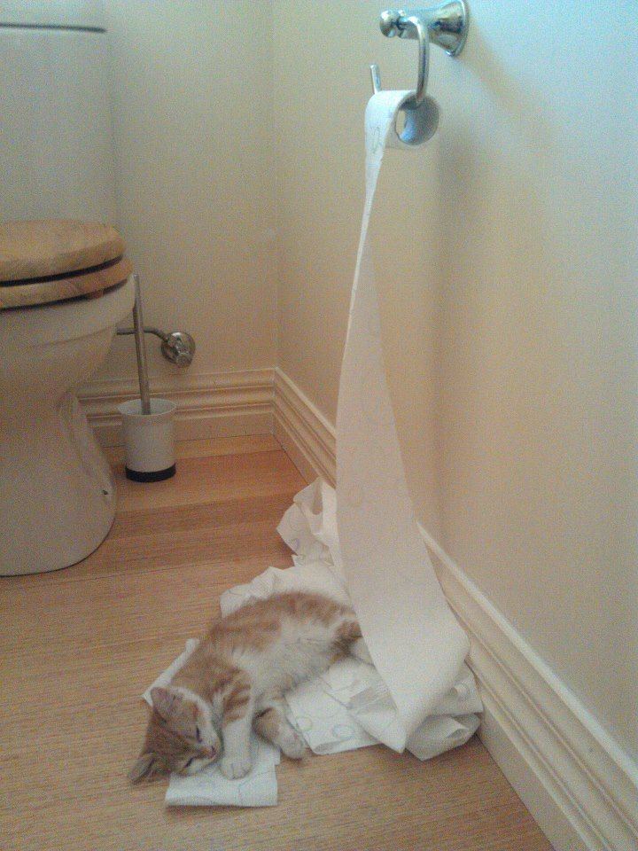 Kitten Unrolls Toilet Paper Roll, Falls Asleep Exhausted. It's been a long day for this cat.