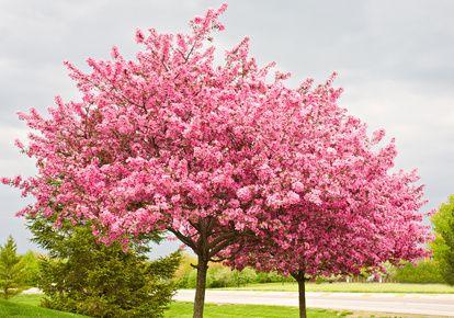 arbres de Judée