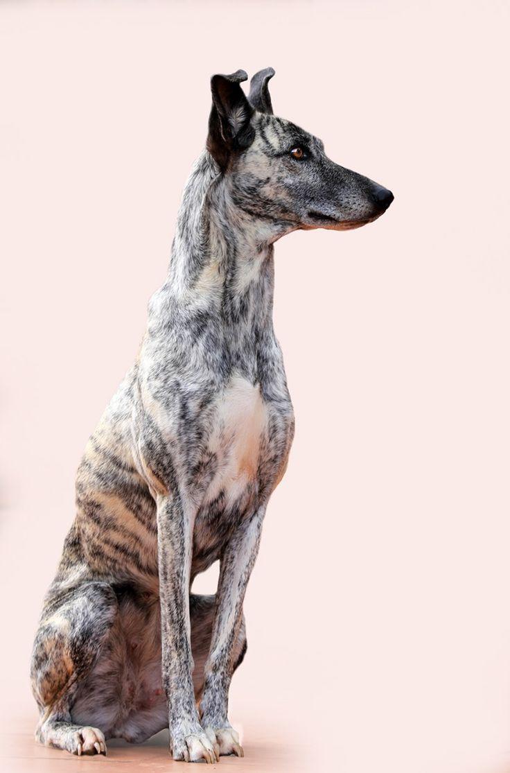 Africanus Dog