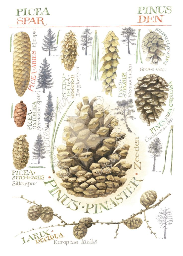 *Assorted Pinecones ~ Marjolein Bastin!