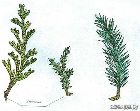 Можно ли черенковать тую, чтобы развести?: Группа Декоративные деревья и кустарники