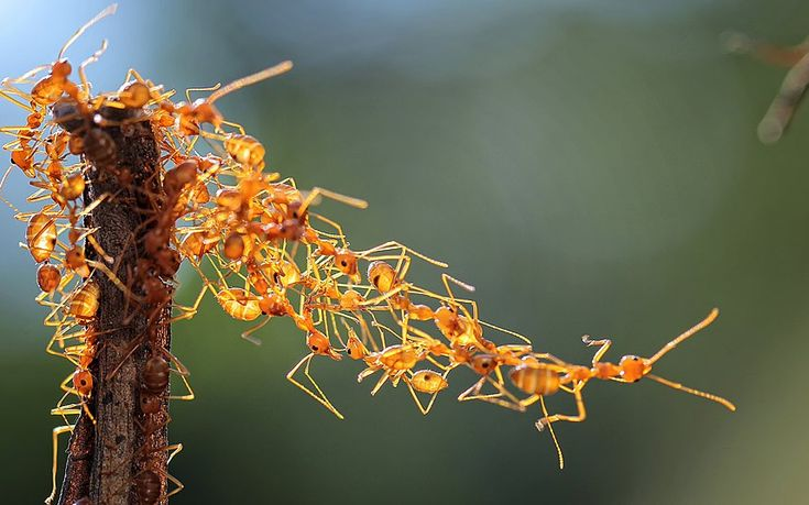 Natural wonder: an army of weaver ants build a bridge out of their bodiesin Matara, Indonesia