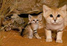 Песчаные кошки: когда и взрослые коты и маленькие котята выглядят как котята