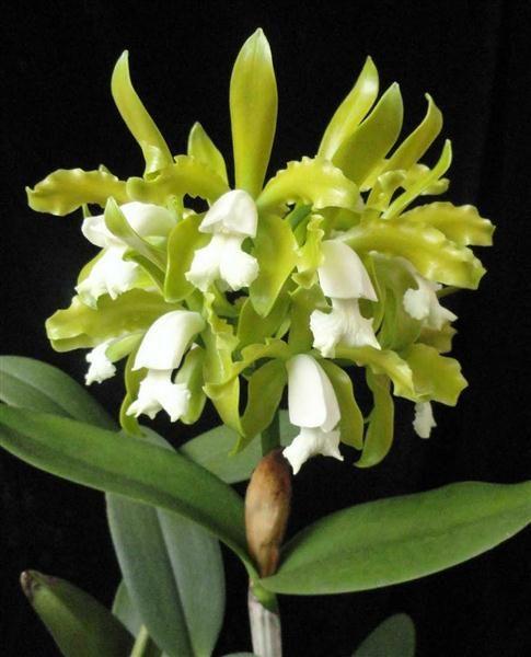 Resultados da Pesquisa de imagens do Google para http://www.plantasonya.com.br/wp-content/img/Cattleya-guttata-alba-1.jpg