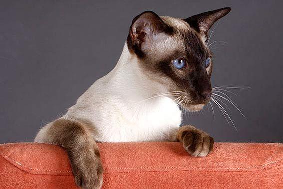 Siamkatzen gehören zu den Kurzhaarkatzen