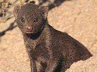 Mongoose - Warthog Lodge