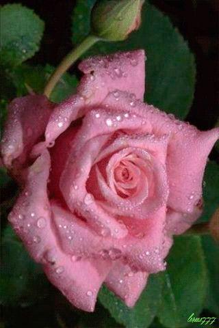 Нежная роза - анимация на телефон №1253023