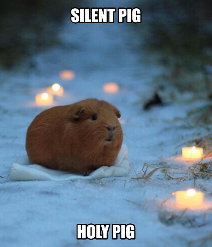 When the guinea pigs are quite... for once,