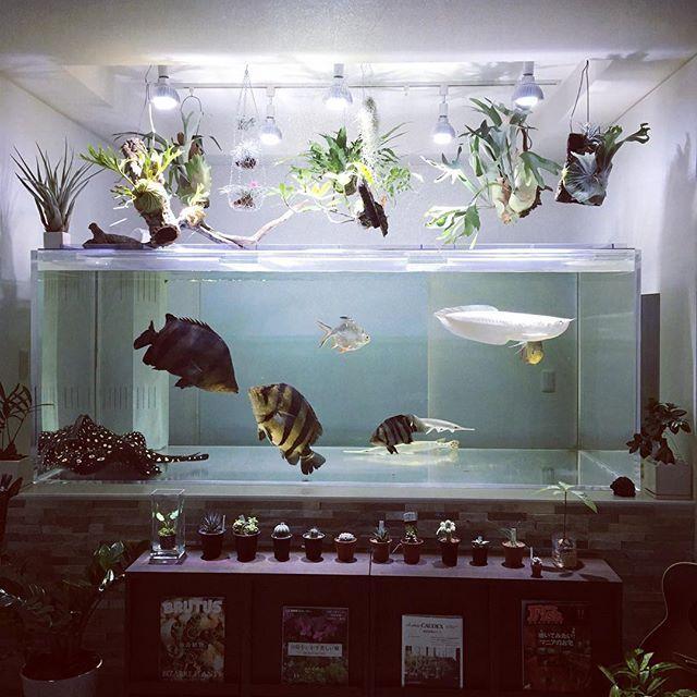 【vivienne_holywood】さんのInstagramをピンしています。 《日が暮れて、水槽の照明だけを灯す。 暗闇に植物と熱帯魚だけが浮かび上がり、最高の自己満足な世界が現れる。 今日も色々あったけど、この子らに癒されながら飲むことができるリビングをもてることに感謝(^_^) #datnioidespulcher #datnioides #大型魚#肉食魚 #熱帯魚 #アクアリウム #着生植物 #ビカクシダ #チランジア #アリノスダマ》
