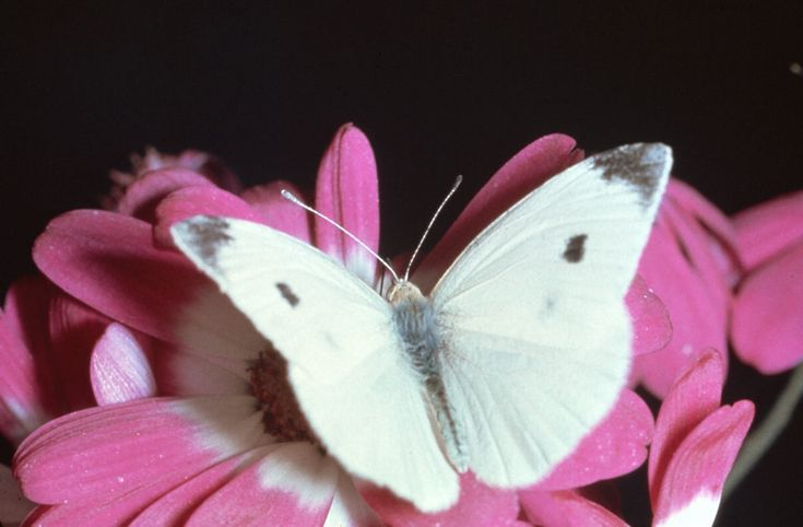 pictures of butterflies | Picture 5 – Cabbage White Butterfly Photo