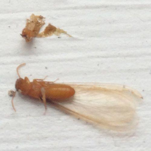 dead Formosan Termite Swarmer up close Crestview FL