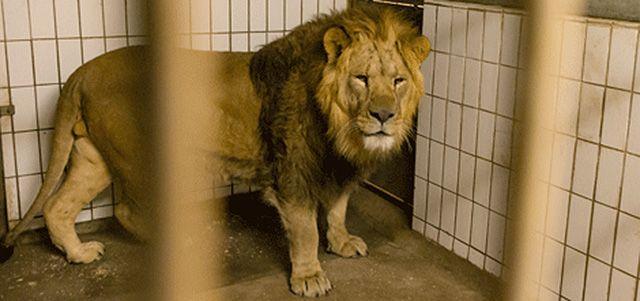 Lo zoo di Copenaghen ha ucciso 4 leoni - Il Post