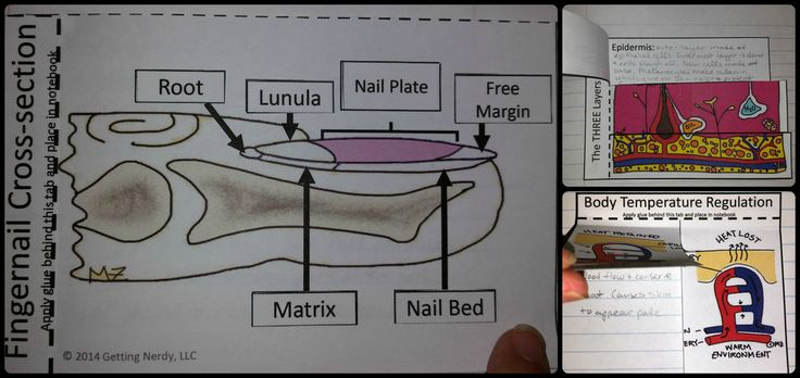 Colorful interactive notebook activities for the integumentary system - parts of a fingernail cut and paste, layers of skin, and how skin maintains homeostasis (body temperature)