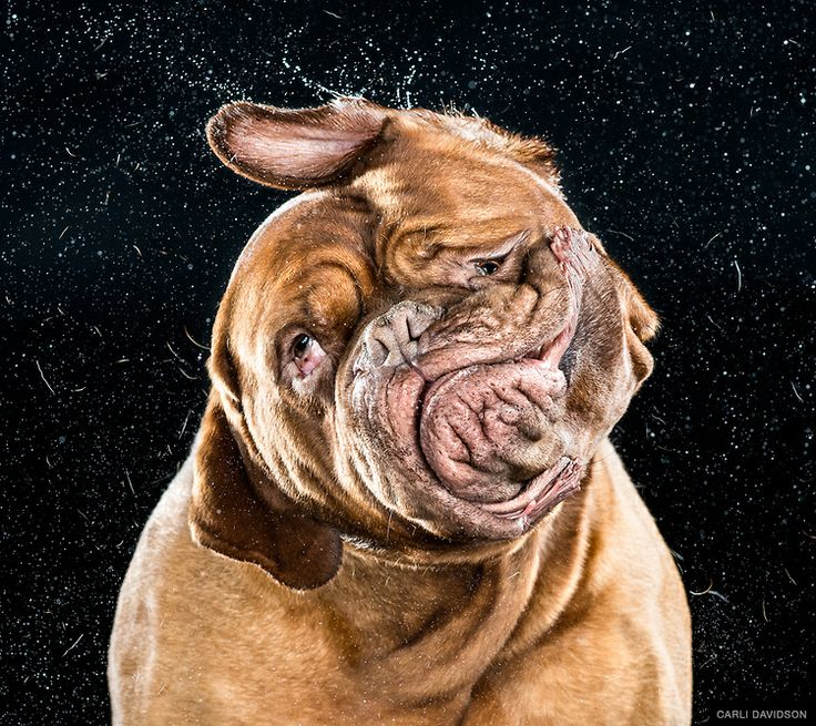Dogue de Bordeaux by Carli Davidson #Photography #Dogs