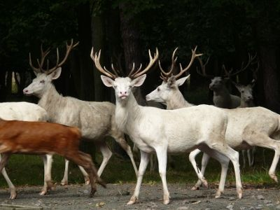 Stádo bílých jelenů Obora Źleby