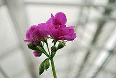 Pelargoni (frostberry) Tunnisteet: kukka pelargoni muraja