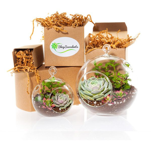 Succulent Terrarium Globe Duo (59 CAD) ❤ liked on Polyvore featuring home, home decor, floral decor, succulent terrarium, succulent glass terrarium, transitional home decor, succulent plant terrarium and glass globe