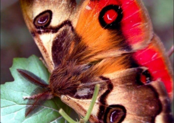Noticias de la comuna de Futrono, mariposa 4 ojos endémica de Chile
